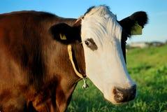 biel krowy kagana biel fotografia stock