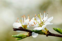 Biel kwiaty Zdjęcie Royalty Free