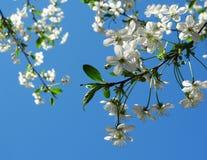Biel kwitnie czereśniowego drzewa kapuje na niebieskim niebie zdjęcie royalty free