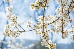 Biel kwitnie na gałąź w ranku słońcu w wiośnie zdjęcia stock