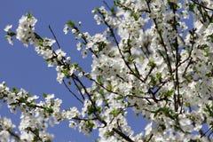 Biel Kwitnie Przeciw niebu Przy wschód słońca kwitnąca okwitnięcia natury wiosna świerczyna Sady kwitną przy wiosną Natura kwitni fotografia royalty free