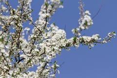 Biel Kwitnie Przeciw niebu Przy wschód słońca kwitnąca okwitnięcia natury wiosna świerczyna Sady kwitną przy wiosną Natura kwitni zdjęcie stock