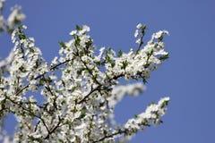 Biel Kwitnie Przeciw niebu Przy wschód słońca kwitnąca okwitnięcia natury wiosna świerczyna Sady kwitną przy wiosną Natura kwitni fotografia stock