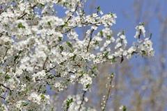 Biel Kwitnie Przeciw niebu Przy wschód słońca kwitnąca okwitnięcia natury wiosna świerczyna Sady kwitną przy wiosną Natura kwitni obrazy stock