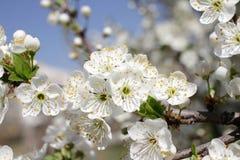Biel Kwitnie Przeciw niebu Przy wschód słońca kwitnąca okwitnięcia natury wiosna świerczyna Sady kwitną przy wiosną Natura kwitni zdjęcia royalty free