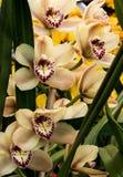 Biel, menchia, purpurowi orchidea kwiaty Zdjęcie Stock