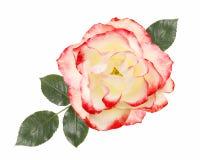 Biel, menchii róży kwiat, odizolowywający na białym tle obrazy stock