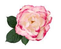 Biel, menchii róży kwiat, odizolowywający na białym tle fotografia stock