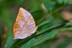biel motyla odosobniony biel Zdjęcie Stock
