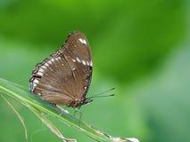biel motyla odosobniony biel Obrazy Royalty Free