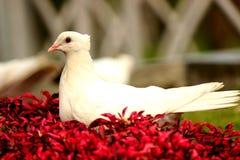 Biel nurkujący na czerwieni Fotografia Royalty Free