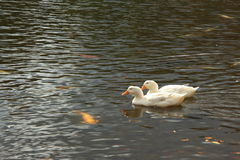 Biel nurkuje dopłynięcie w jeziorze Zdjęcia Royalty Free