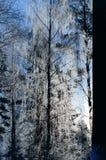Biel oszroniejący na drzewie przy pogodnym finnish zima dniem Fotografia Stock