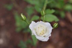 Biel pączki i róża Zdjęcie Stock