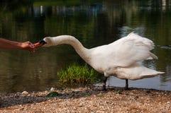 Biel pływał łasowanie od ręki Fotografia Stock