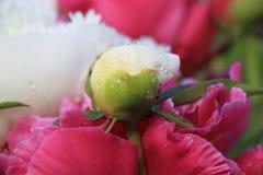 Biel pączkowa peonia Zdjęcie Royalty Free