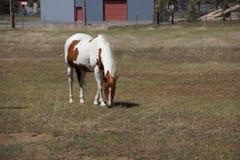 biel pastwiskowy koński biel Zdjęcie Stock