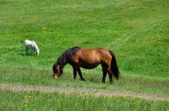 biel pastwiskowy koński biel Obrazy Stock
