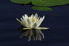 Biel perełkowa wodna leluja na gładkiej powierzchni staw Fotografia Stock