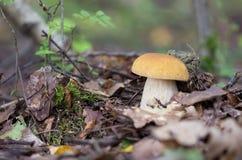 Biel pieczarka w drewnach wśród suchych liści Obrazy Royalty Free