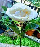 Biel róża który gived Spesial someone zdjęcia royalty free