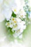 Biel róża kwitnie brurry granicę Fotografia Royalty Free
