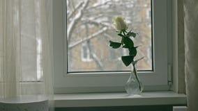 Biel róża na windowsill zbiory