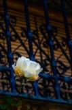 Biel róża obok okno z barami zdjęcia royalty free