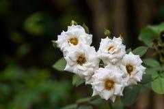 Biel róża, także zwany Rosa hybrida używają w nauce Kwiat piękny zdjęcia stock