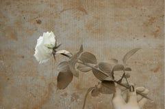 Biel róża w ręki grunge Zdjęcie Stock