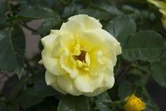 Biel róża wewnątrz rosengarden fotografia stock
