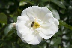 Biel róża wewnątrz rosengarden obrazy stock