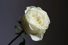 Biel róża z popielatym i czarnym tłem Obrazy Royalty Free