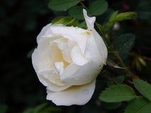 Biel róży bukieta kwiaty na zakończeniu rozgałęziają się Zdjęcia Stock