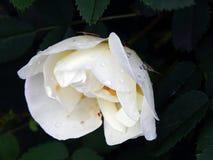 Biel róży bukieta kwiaty na zakończeniu rozgałęziają się Obrazy Stock