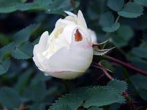 Biel róży bukieta kwiaty na zakończeniu rozgałęziają się Zdjęcia Royalty Free