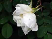 Biel róży bukieta kwiaty na zakończeniu rozgałęziają się Fotografia Royalty Free