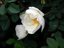 Biel róży bukieta kwiaty na zakończeniu rozgałęziają się Fotografia Stock