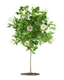 Biel róży drzewna roślina odizolowywająca na bielu Fotografia Stock