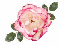 Biel róży kwiat, odosobniony na białym tle obraz stock