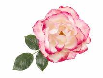 Biel róży kwiat, odosobniony na białym tle fotografia royalty free