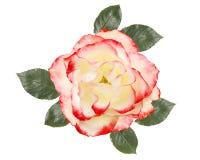 Biel róży kwiat, odosobniony na białym tle obrazy stock