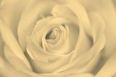 Biel róży kwiatu tło, makro- zdjęcia stock
