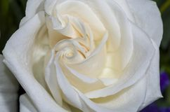 Biel róża 3 Fotografia Royalty Free