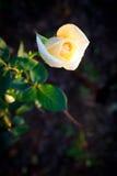 Biel róża Fotografia Royalty Free