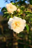 Biel róża Zdjęcie Royalty Free