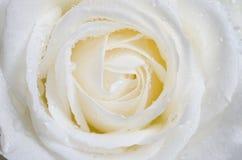 Biel róża Obraz Stock