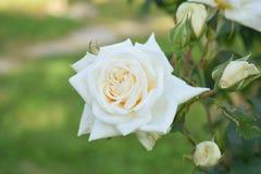 Biel róża od tajnego kochanka zdjęcia stock
