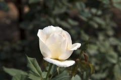Biel róża (Rosa chinensis) Fotografia Royalty Free