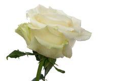Biel róża w kroplach odizolowywa Fotografia Royalty Free